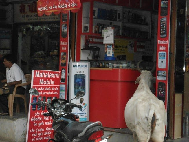 Cow Interested in Mobile Phones
